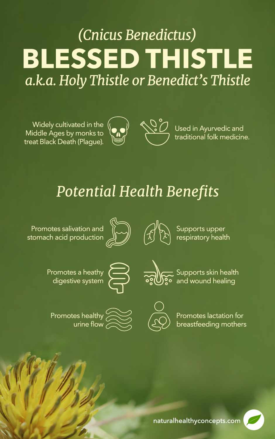 blessed thistle infographic